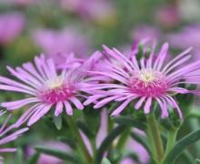 Fleurs de Delosperma - Ficoide