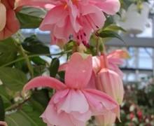 fleurs de fuchsia