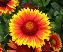 fleur de gaillarde
