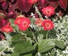 fleurs de gerbera au jardin