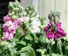 fleurs de giroflées