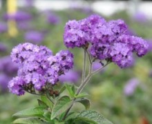 fleurs d'heliotrope