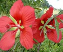 fleur d'hibiscus coccineus