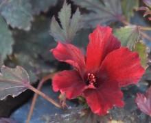 fleur d'hibiscus acetosella rouge