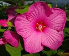 fleur d'hibiscus des marais