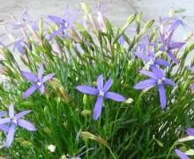 isotoma en fleurs