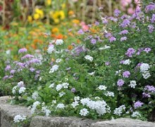 massif de lantana rampants en fleurs