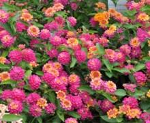 massif de lantana en fleurs