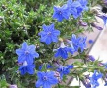 fleurs de lithodora
