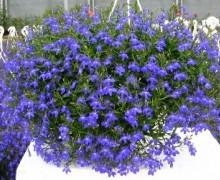 suspension  de lobelias en fleurs