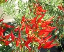 fleurs de lotus maculatus