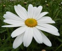 Fleur d'anthémis maltaise