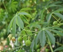 photo de manioc de carthagène