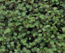 feuillage de muehlenbeckia