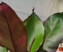 feuilles de bananier pourpre