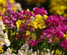 fleurs de némésias