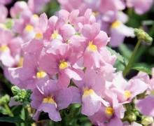 némésias en fleurs