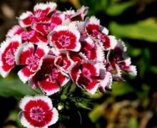 fleur oeillet de poete