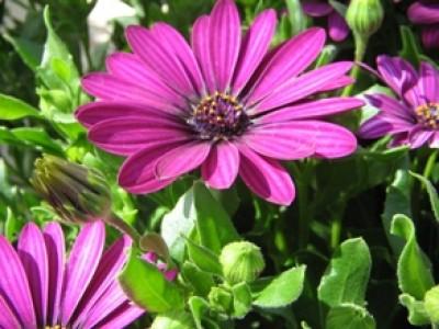 dimorphoteca en fleurs