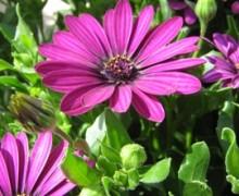 fleurs de dimorphoteca également appelées ostéospermum