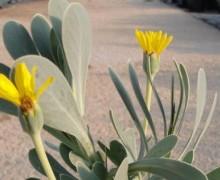 fleurs d'othonopsis
