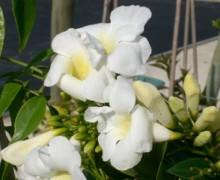 fleurs de pandoréa jasminoide
