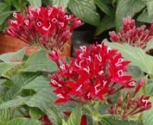 fleurs de pentas