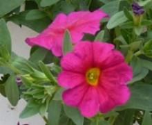 fleurs de petuberachoa