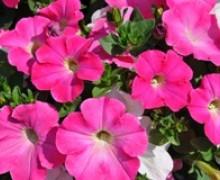 fleurs de pétunia