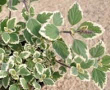 feuillage panaché de plectranthus  Blue Spire