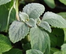 feuillage de plectranthus silver shield