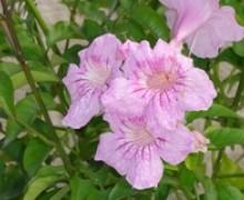 fleur de prodranea bignone rose