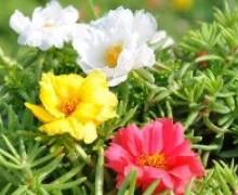 fleurs de pourpier