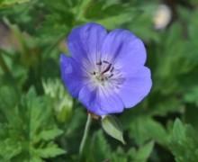 fleur de géranium Rozanne
