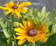 fleurs de rudbeckia