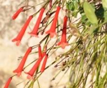fleurs de russelia juncea , plante corail