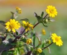 fleurs de sanvitalia