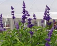 fleurs de sauge farineuse