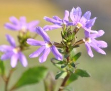 fleurs de scaevole