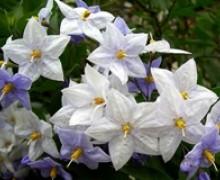 fleurs de solanum faux jasmin