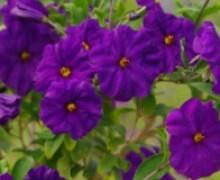 fleurs de solanum rantonetti