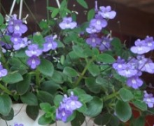 fleurs de streptocarpus en suspension