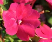 Fleurs de sunpatiens