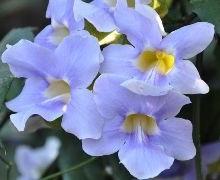thumbergia à grandes fleurs