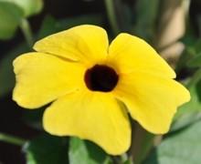 fleur de thumbergia suzanne aux yeux noirs