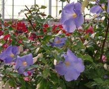 fleurs de thumbergia érigée