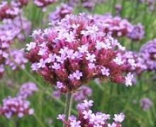 fleurs de verveine bodariensis
