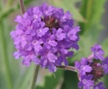 fleurs de verveine rugueuse