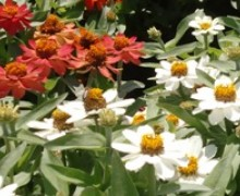 fleurs de zinnia